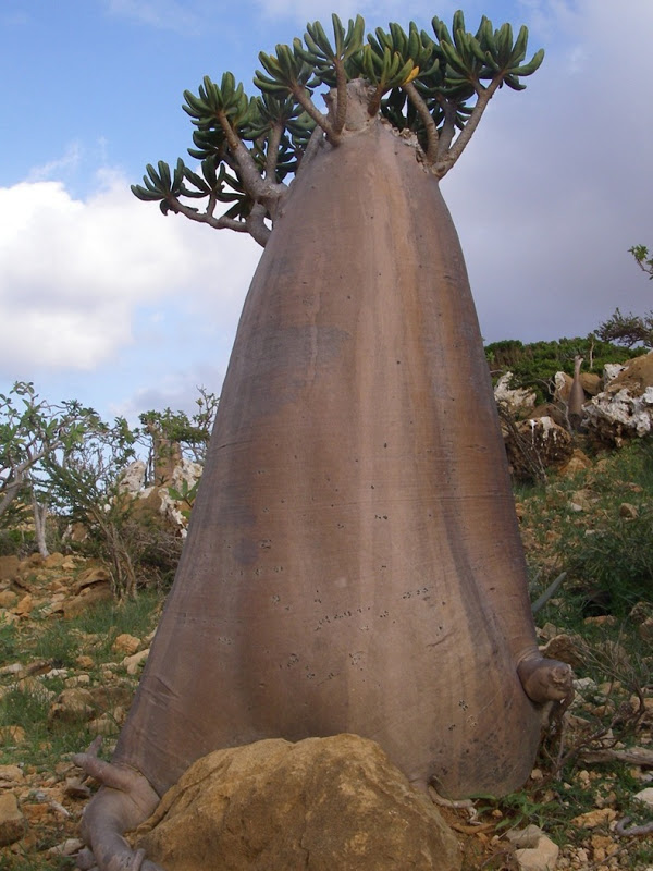 socotra island strange plants facts pod